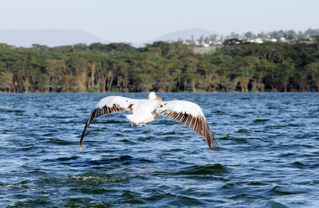 Beautiful grey white Pelican from the back photo