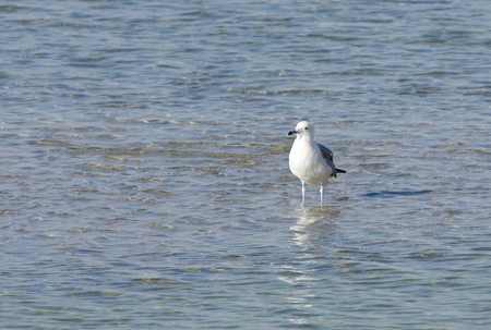 endothermic: A beautiful lone seagull in water