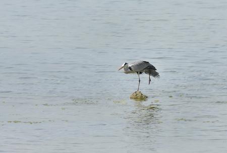 grey heron: Beautiful great grey heron standing on one leg