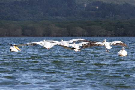 naivasha: White Pelicans with spread wings