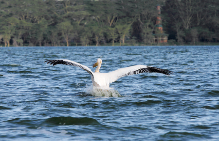 high  metabolic rate: A beautiful great white Pelican moving away at Lake Naivasha Stock Photo