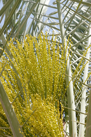 Male flowers in a date palm photo