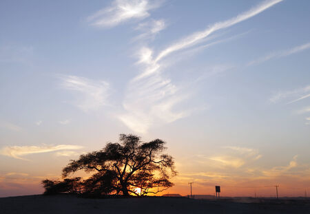 rooted: Broad view of tree of life on sunset, Bahrain