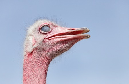 Beautiful Ostrich with inner eyelid closed  photo
