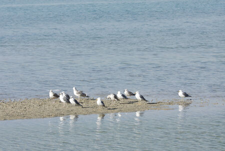 bipedal: A broad view of Seagulls during low tide