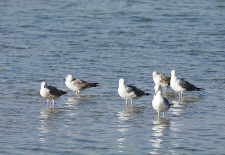 bipedal: Seagulls with rising water after low tide  Stock Photo