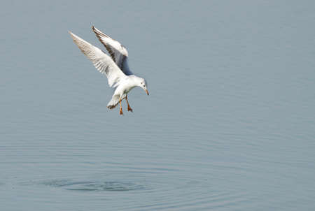 endothermic: Seagull ready to dive