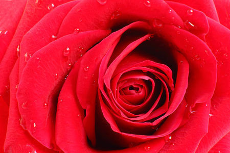 gulab: Beautiful arrangement of petals in a red rose, a closer look  Stock Photo
