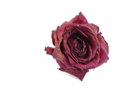 gulab: A dry red rose Stock Photo