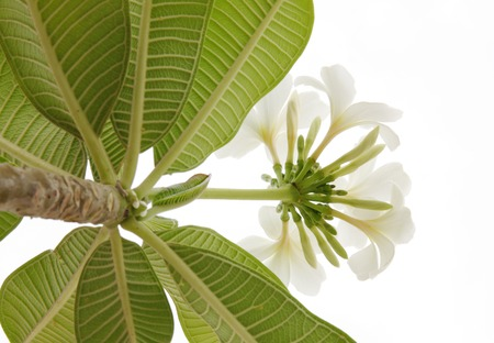 asterids: Beautiful white Frangipani cluster photographed looking up Stock Photo