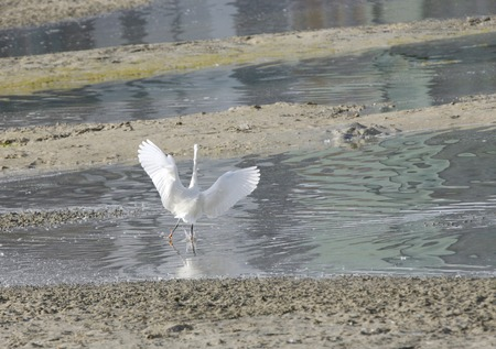 bipedal: White heron running after fish