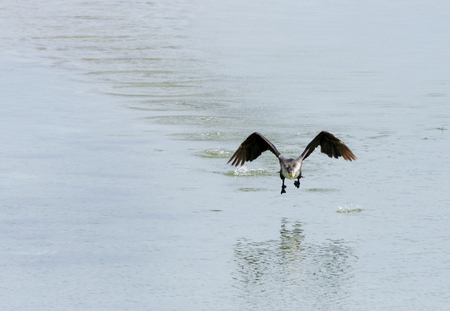 suliformes: Great Cormorant hopping to fly