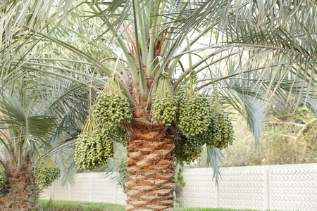 Green Kimri & khalal dates clusters all around the palm tree photo