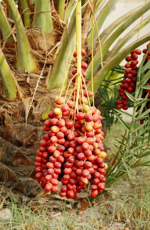 kimri: Cluster of red dates