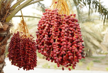 hot date: Clusters of red dates with selective focus