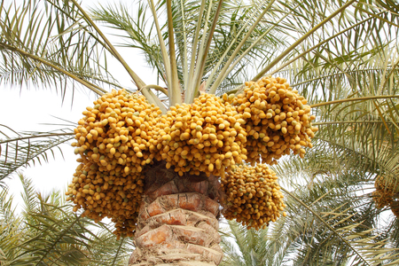 Clusters of Kimri and khalal Dates photo