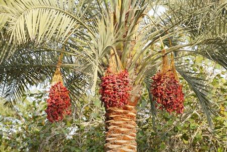 kimri: Dates on a tree