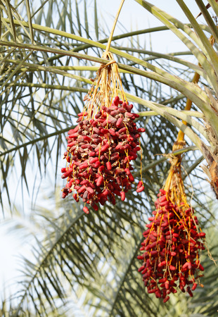 kimri: Clusters of Kimri & khalal dates Stock Photo