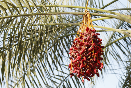 kimri: Cluster of Kimri & khalal dates Stock Photo