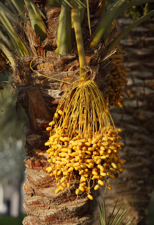 kimri: Cluster of yellow Kimri & khalal dates