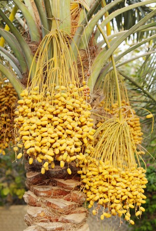 yellow clusters of Kimri & khalal dates photo