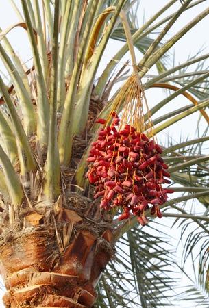 kimri: A bunch of red Kimri & khalal dates