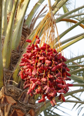kimri: closeup of a bunch of red Kimri & khalal dates