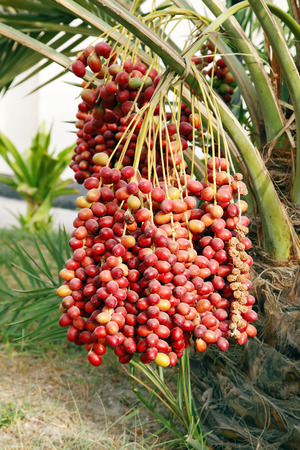 kimri: Closeup of the cluster of red dates Stock Photo