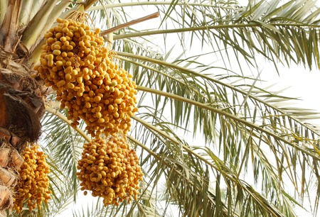 kimri: Yellow clusters of dates on tree Stock Photo
