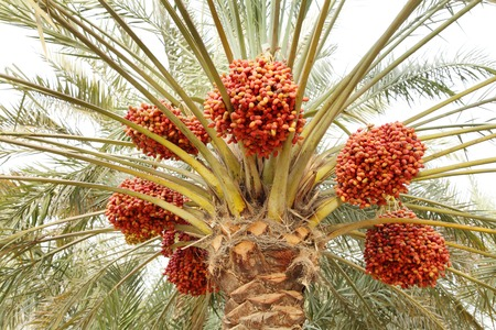 kimri: Beautiful red khalal dates in a tree Stock Photo