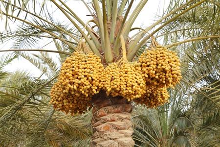 kimri: Kimri and khalal Dates clusters  Stock Photo