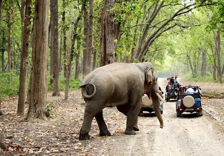 safari game drive: Jim Corbett, 24 INDIA-maggio: jeep safari su game drive guardare grande tusker muoversi nella foresta di Dhikala il 24 maggio 2014 a Jim Corbett, Uttrakhand, India Editoriali