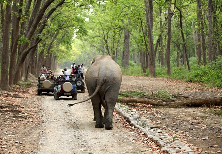 jim: JIM CORBETT, INDIA-May 24: Safari jeeps on game drive watching huge tusker moving in the forest of Dhikala on May 24, 2014 in Jim Corbett, Uttrakhand, India