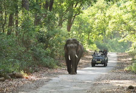 JIM CORBETT, INDIA-MAY 24: A Safari jeep on game drive watching huge tusker moving on the road of Dhikala forest on May 24, 2014 in Jim Corbett, Uttrakhand, India