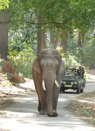 game drive: JIM CORBETT, INDIA-May 24: A Safari jeep on game drive watching huge tusker moving on the road of Dhikala forest on May 24, 2014 in Jim Corbett, Uttrakhand, India