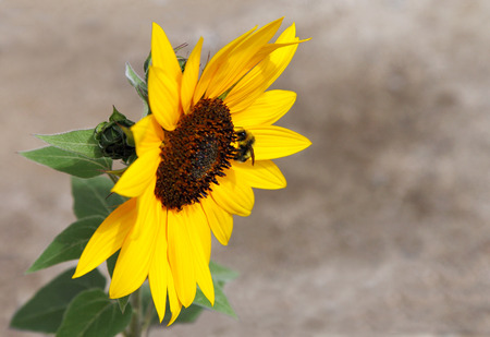 Side view of sunflower with a Bee taking nectar  photo