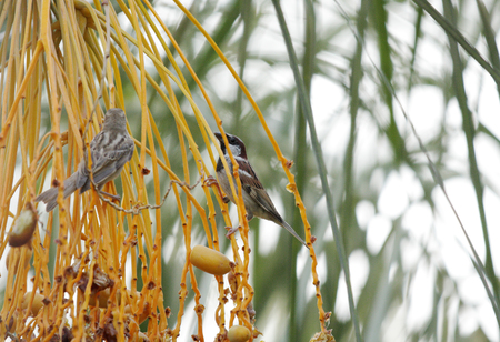 kimri: Beautiful sparrows eating dates