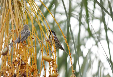 kimri: Beautiful sparrows eating dates