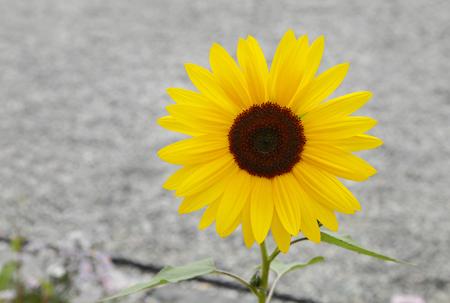 A beautiful yellow sunflower photo