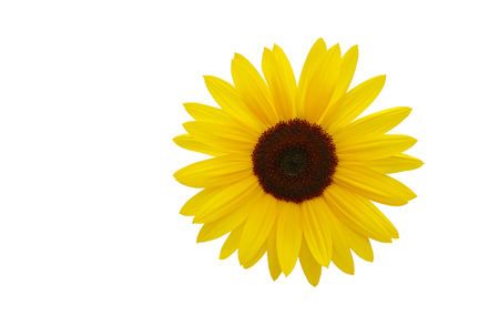 helianthus annuus: A beautiful yellow sunflower isolated on white