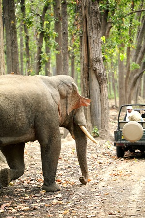 JIM CORBETT, INDIA-May 24: A massive tusker charging a Safari jeep in the forest of Dhikala May 24, 2014 in Jim Corbett, Uttrakhand, India Editorial