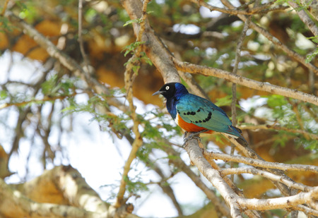 high  metabolic rate: Beautiful Superb Starling