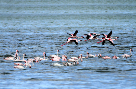 high  metabolic rate: Flamingos in flight Stock Photo