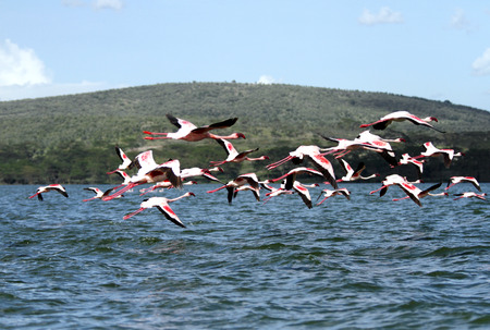 high metabolic rate: Flying Flamingos