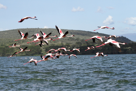 high metabolic rate: Beautiful red bill Flamingos