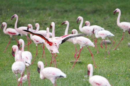 lake naivasha: Beautiful Flamingos at Lake Naivasha