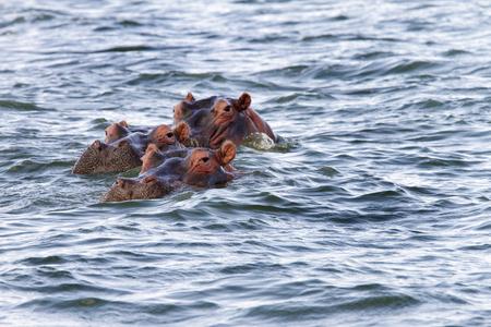 lake naivasha: Hippos floating in lake Naivasha