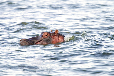 eukaryotic: A Hippopotamus with heads above the water