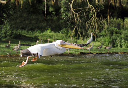 Great Pelicans speeding above water photo