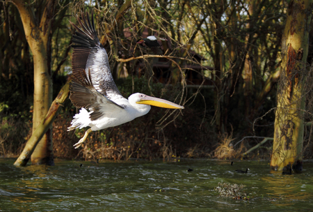 high metabolic rate: Beautiful Great Pelican flying above water on the backdrop of Acacia tree Stock Photo